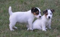 Jack Russell Terrier Puppies for sale in Clearwater, FL, USA. price: NA