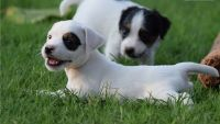 Jack Russell Terrier Puppies for sale in Kent, WA, USA. price: NA
