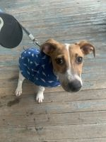 Jack Russell Terrier Puppies for sale in Cleveland, OH, USA. price: NA