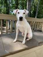 Jack Russell Terrier Puppies for sale in Marietta, GA, USA. price: NA