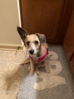 Jack Russell Terrier Puppies for sale in Hinesville, GA 31313, USA. price: NA