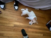 Jack Russell Terrier Puppies for sale in The Bronx, NY, USA. price: NA