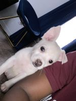 Jack Russell Terrier Puppies for sale in Trenton, NJ, USA. price: NA