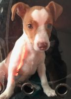 Jack Russell Terrier Puppies for sale in Philadelphia, PA 19135, USA. price: NA