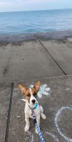 Jack Russell Terrier Puppies for sale in Joliet, IL, USA. price: NA