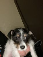 Jack Russell Terrier Puppies for sale in Rochester, NY, USA. price: NA