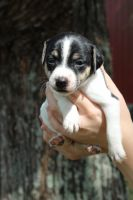 Jack Russell Terrier Puppies for sale in Hartville, MO 65667, USA. price: NA