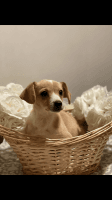 Jack Russell Terrier Puppies for sale in Lindsay, CA 93247, USA. price: NA