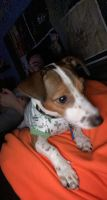 Jack Russell Terrier Puppies for sale in Atglen, PA, USA. price: NA
