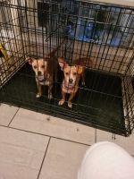 Jack Russell Terrier Puppies for sale in Flowery Branch, GA, USA. price: NA