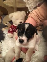 Jack Russell Terrier Puppies for sale in California City, CA, USA. price: NA