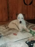 Jack Russell Terrier Puppies for sale in Merrimack, NH, USA. price: NA