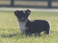 Jack Russell Terrier Puppies for sale in Rochester, IN 46975, USA. price: NA