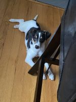 Jack Russell Terrier Puppies for sale in Redford Charter Twp, MI, USA. price: NA