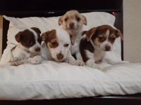 Jack Russell Terrier Puppies for sale in Stockton, CA 95207, USA. price: NA