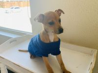Jack Russell Terrier Puppies for sale in 808 Oak St, Wylie, TX 75098, USA. price: NA
