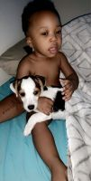 Jack Russell Terrier Puppies for sale in Orlando, FL, USA. price: NA