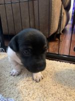 Jack Russell Terrier Puppies for sale in Lakeland, FL, USA. price: NA