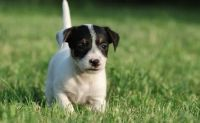 Jack Russell Terrier Puppies for sale in Carol City, FL 33056, USA. price: NA