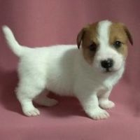 Jack Russell Terrier Puppies for sale in Ontario, CA, USA. price: NA
