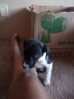 Jack Russell Terrier Puppies for sale in Oak Grove, MN 55303, USA. price: NA