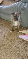 Jack Russell Terrier Puppies for sale in Stone Mountain, GA, USA. price: NA