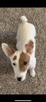 Jack Russell Terrier Puppies for sale in Manchester, CT, USA. price: NA