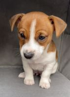 Jack Russell Terrier Puppies for sale in Port Washington, NY, USA. price: NA