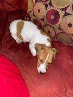 Jack Russell Terrier Puppies for sale in Silver Spring, MD, USA. price: NA