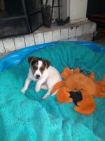 Jack Russell Terrier Puppies for sale in Marlow, OK 73055, USA. price: NA