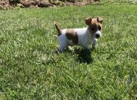 Jack Russell Terrier Puppies for sale in 52 Pennsy Rd, New Providence, PA 17560, USA. price: NA