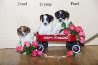 Jack Russell Terrier Puppies for sale in Clare, MI 48617, USA. price: NA
