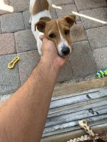 Jack Russell Terrier Puppies for sale in Miami, FL 33189, USA. price: NA