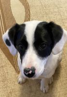Jack Russell Terrier Puppies for sale in Orland Hills, IL, USA. price: NA