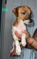 Jack Russell Terrier Puppies for sale in Jersey City, NJ, USA. price: NA