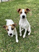 Jack Russell Terrier Puppies for sale in Hurst, TX, USA. price: NA