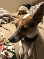 Jack Russell Terrier Puppies for sale in Alsip, IL, USA. price: NA