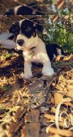 Jack Russell Terrier Puppies for sale in Orlando, FL 32822, USA. price: NA
