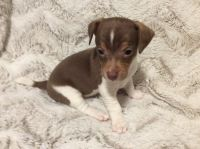 Jack Russell Terrier Puppies for sale in Midland, MI, USA. price: NA