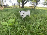 Jack Russell Terrier Puppies for sale in Bluemont, VA 20135, USA. price: NA