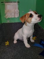 Jack Russell Terrier Puppies for sale in Columbus, IN 47201, USA. price: NA