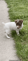 Jack Russell Terrier Puppies for sale in Jackson, KY 41339, USA. price: NA