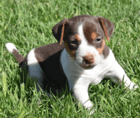Jack Russell Terrier Puppies for sale in Los Angeles, CA, USA. price: NA
