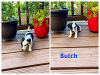 Jack Russell Terrier Puppies for sale in Sacramento, CA, USA. price: NA