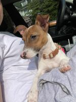 Jack Russell Terrier Puppies for sale in Scranton, PA 18504, USA. price: NA