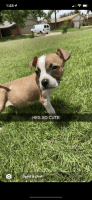 Jack Russell Terrier Puppies for sale in Edmond, OK, USA. price: NA