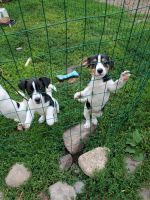 Jack Russell Terrier Puppies for sale in Milaca, MN 56353, USA. price: NA