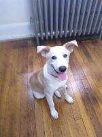 Jack Russell Terrier Puppies for sale in Union, NJ, USA. price: NA