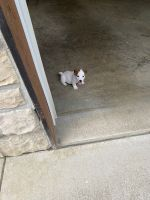 Jack Russell Terrier Puppies for sale in Piqua, OH 45356, USA. price: NA