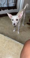 Jack Russell Terrier Puppies for sale in Winston-Salem, NC, USA. price: NA